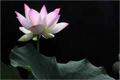 Lotus Flower - IMG_4758 (Bahman Farzad) Tags: flower macro yoga peace lotus relaxing peaceful meditation therapy lowkey lotusflower lotusflowers lokey lotuspetal lotuspetals lotusflowerpetals lotusflowerpetal