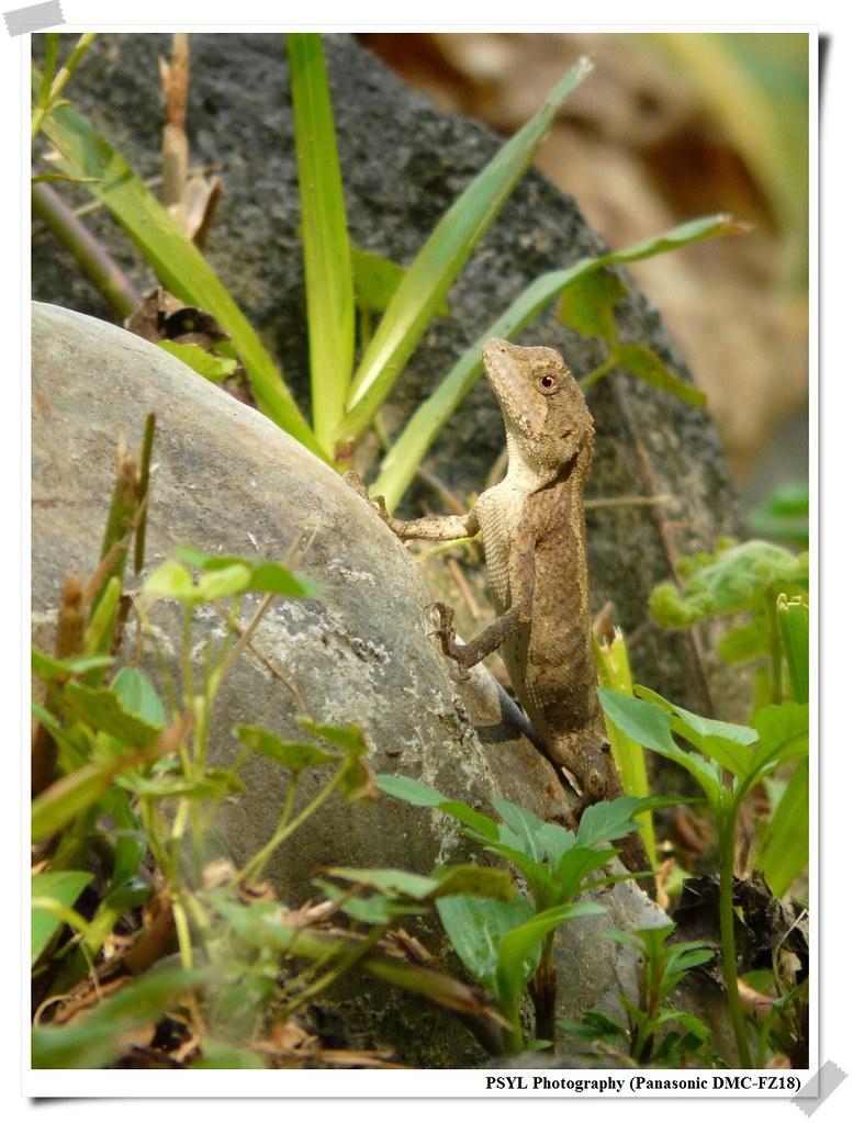 P1Swinhoe's japalura (Japalura swinhonis) - 斯文豪氏攀蜥
