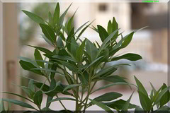 Leaves - DOF Experiment ([ RAFIQ ]) Tags: riyadh saudiarabia rafiq riyad digitalcameraclub dofexperiment 1870kitlens sonydslra200 rafiqsa