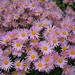 Chrysanthemum rubellum 'Clara Curtis'
