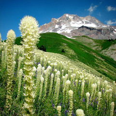 The Glorious Flanks of Mt. Hood (Erik Hovmiller) Tags: wild summer white mountain flower oregon forest meadow ridge national cascade lupine beargrass mounthoodwilderness