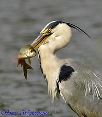 HERON WITH A RUDD (FISH) (spw6156) Tags: copyright bill with top cropped speared the of flickrelite spw6156 heronwithafish500mmlenshandheldiso400 stevewaterhouse copyrightstevewaterhouse