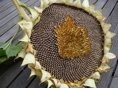 Zonnebloem geoogst Zelfs na de bloei nog schitterend! Zonnebloempitten!