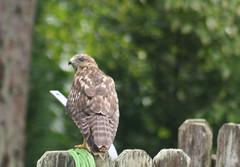 Hawk3831