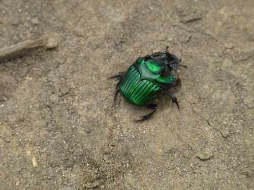 Giant green beetle