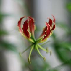 a study of Gloriosa rothschildiana [6] (_nejire_) Tags: flower flora f14 explore 1pm 161 gloriosa gloriosalily carlzeiss firelily 10faves flamelily gloriosarothschildiana nejire glorylily climbinglily canoneos400d fave10 planart50mm creepinglily mhashi superblily carlzeissplanart1450ze no369 6617405g9pm