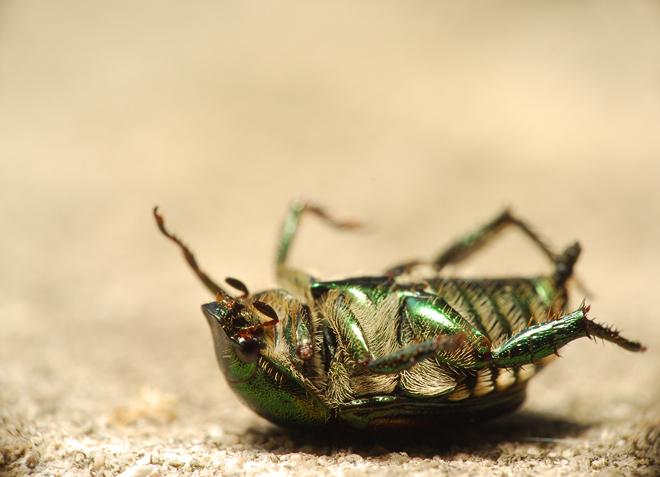 RIP Japanese Beetle