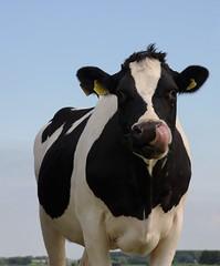 nosy (Plutone (NL)) Tags: white black tongue nose cow cattle fries curious tong zwart wit koe neus nieuwsgierig