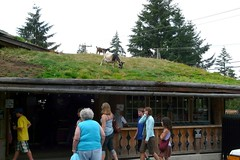 Goat on the market roof (adrimcm) Tags: sustainable permaculture greenroof coombs greenbuilding sodroof coombscountrymarket coombsgoats