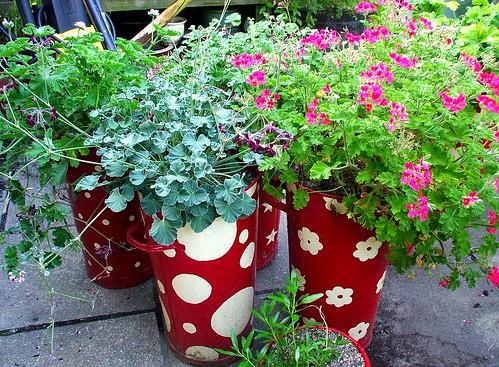 Colourful pots of geraniums