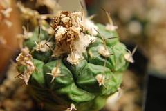 DSC_0147 (runrun02864) Tags: cactus film water cacti technology deep culture hydroponics nft nutrient pereskiopsis