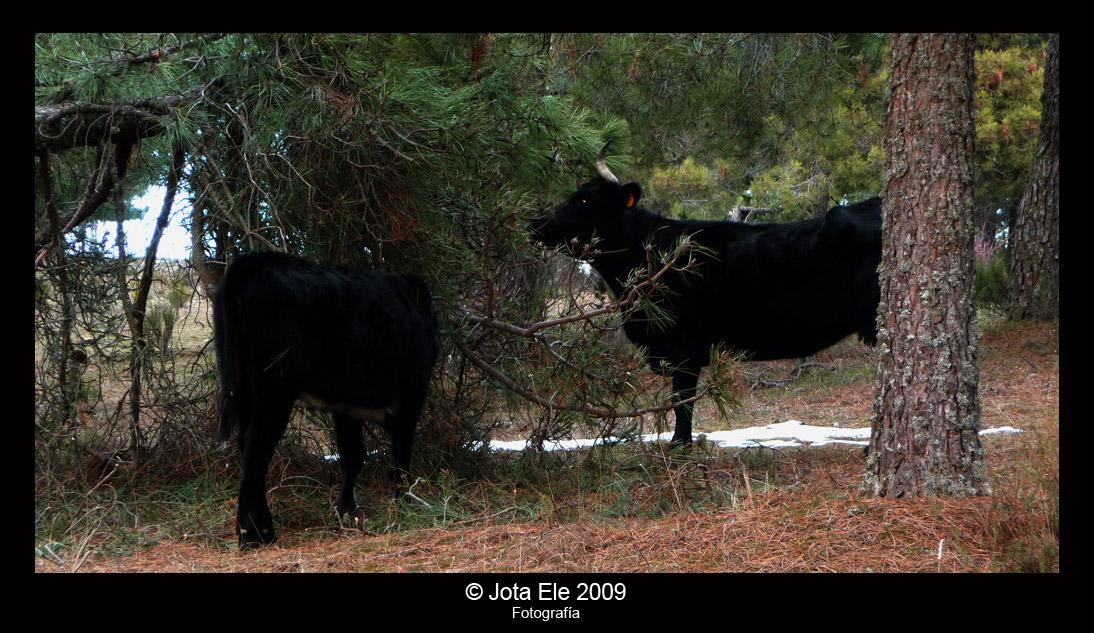 Vacas II