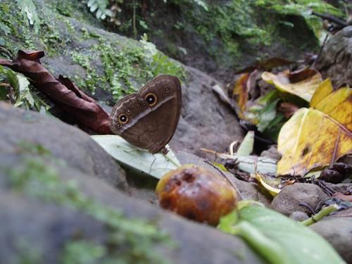 你拍攝的 圖片6-小蛇目蝶。