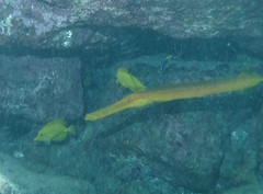 Odd Trio (DGS Photography) Tags: fish hawaii underwater snorkel tropical wrasse trumpetfish yellowtang kealakekuabay breathhold