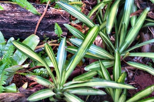 Neoregelia carolinae 'Tricolor' (rq) - 02