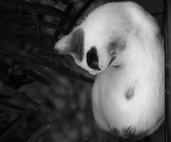 Breakfast at the Rodrigues' (butterbiscuit) Tags: portrait pet animal cat canon feline rodrigues mumbai muesli