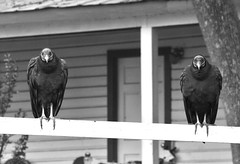 The Vultures Outside the House (andertho) Tags: delete5 delete2 dc washington nps delete6 delete7 save3 delete3 save7 save8 delete delete4 save save2 creepy save9 save4 dcist macabre save5 save10 vulture carrion blackvulture scavenger cocanal undertaker savedbythedeletemeuncensoredgroup rileyslock