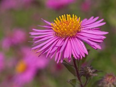 Aster (Sinkha63) Tags: autumn france flower macro nature fleur rose automne garden bokeh jardin pinkflower asteraceae aster flore limousin excellence supershot pgt abigfave curemonte astraces theunforgettablepictures composes naturethroughthelens fabbow naturimages