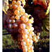 grape image, photo or clip art