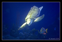 Doo-ood... Todally (JKmedia) Tags: blue light fish water swimming aquarium underwater turtle shell plymouth diving colourful seaturtle murky flipper findingnemo nationalmarineaquarium seabed canoneos40d jkmedia pregamewinner