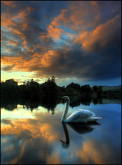 A Swany Sunset (angus clyne) Tags: autumn sunset scotland swan perthshire calm loch dunkeld birnam flikcr clunie platinumphoto colorphotoaward lochclunie obramaestra