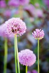 30877 (Clive Nichols) Tags: pink flower up closeup bulb garden chalk support close purple sandy hill softness northamptonshire sphere limestone janet onion allium grounds perennial teamwork cropley aflatunense clivenichols