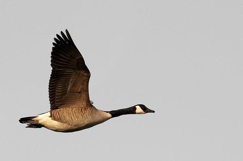 フリー画像| 動物写真| 鳥類| ガチョウ|        フリー素材|