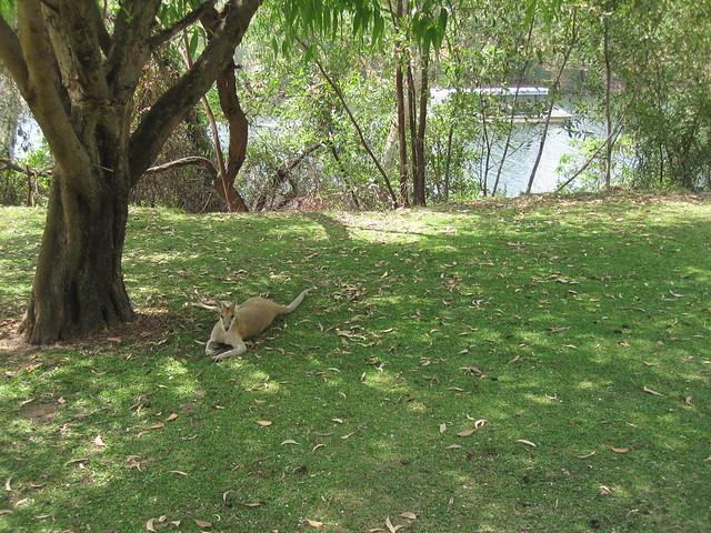 Darwin to Alice Springs 05 - Kangaroo at Katherine Gorge by Ben Beiske