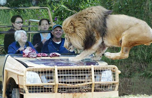 animalpicturesoftheweek lion