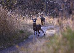 Bay Bucks 2 (Emery O) Tags: wisconsin canon bay deer greenbay buck bucks whitetail 70200mm 50d