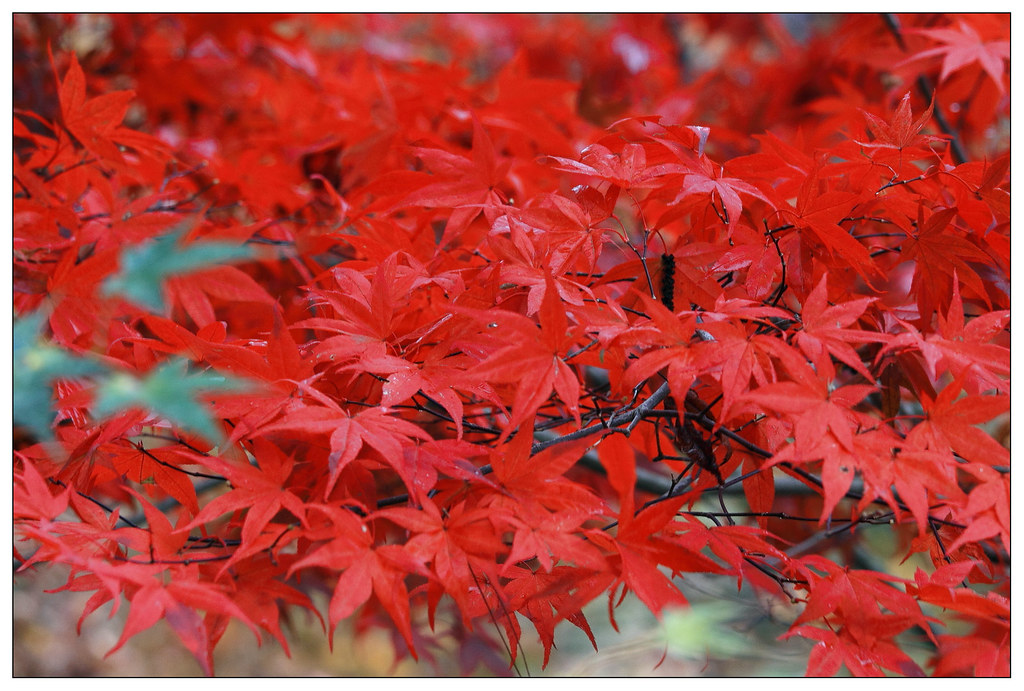 福壽山上的楓紅一片