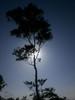 The Tree Silhouette (Amit Bhardwaj_Dilli) Tags: india tree silhouette afternoon himachal himalayas bharat hindustan solan hiamalayas waknaghat flickrunitedaward dpssilhouettes