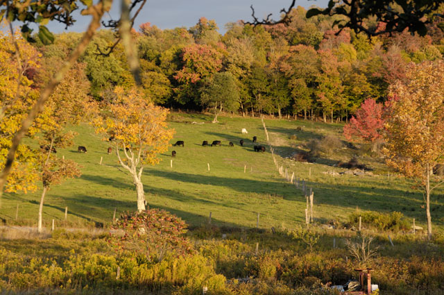 Meyer Farm - Black Angus in Fall