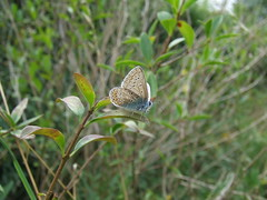 Common blue Butterfly. (Man & Crow) Tags: basingstokecommon butterfliesbasingstoke naturewildlifehampshire