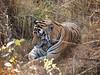 Male Tiger, Kanha National Park, India (Jaideep Padhye) Tags: india kanhanationalpark pantheratigristigris royalbengaltiger pantheratigrisbengalensis