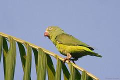 Brotogeris sanctithomae - Tui Parakeet (arthurgrosset) Tags: fbwnewbird fbwadded brotogerissanctithomae tuiparakeet