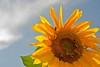 Juli (pixel-rausch) Tags: sunflower calendarshot