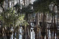 """Cypress trees (""""Olga"""") Tags: cypress tallahassee juniormuseum flickrdiamond"""