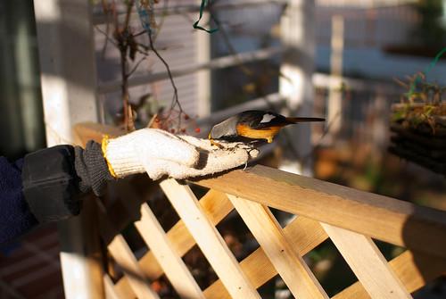 虫を食べるジョウビタキ