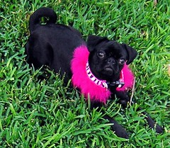DSCN2253 (amanda.a.harkins) Tags: pink blue dog playing black hot male green grass car female puppy outdoors chains eyes bars mess feather pug chain indoors prison fawn tired jail fancy zebra collar pugs scottie houndstooth