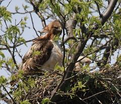 Proud New Parent (Magnificat Photos) Tags: nature canon babies nest hawk xsi vosplusbellesphotos thewonderfulworldofbirds mothernaturesgreenearth
