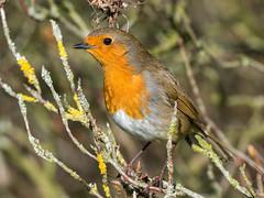 Robin at Ness (Maria-H) Tags: robin erithacusrubecula littleneston england unitedkingdom gb ness botanic garden wirral uk olympus omdem1markii panasonic 100400