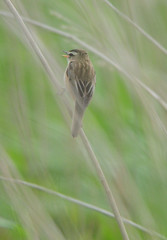 Sedge Warbler, Acrocephalus schoenobaenus, Singing at RSPB Blacktoft Sands (Steve Greaves) Tags: brown green bird nature grass reeds coast countryside singing bokeh wildlife aves naturalhistory naturereserve sing vegetation marsh marshland avian songbird seedheads rspb 2xteleconverter sedgewarbler blacktoftsands acrocephalusschoenobaenus nikond300 globalbirdtrekkers nikonafsii400mmf28ifedlens