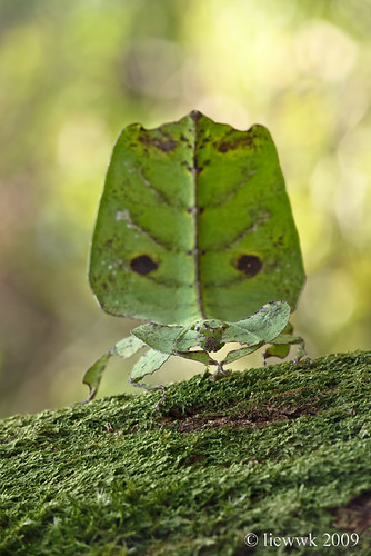 25.1 Leaf Insect