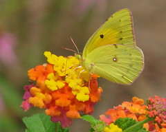 Orange Sulphur visits the lantana (Vicki's Nature) Tags: pink orange yellow yard canon butterfly georgia vivid sulphur s5 orangesulphur coliaseurytheme gamewinner topshots 2093 colorphotoaward colourartaward natureoutpost vickisnature natureselegantshots explorewinnersoftheworld beautifulworldchallenges 100commentgroup vosplusbellesphotos thebestofmimamorsgroups bwcgyellow bestofmywinners bwcgpastels motheryellow readymother readyfaves game2ndchooses readygamex2 returnarmonia