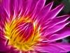 Fractalius Pink Water Lily ( Daeng Dharmanoon ) / ดอกบัวผัน - แดงธรรมนูญ (AmpamukA) Tags: pink flower water lily lotus daeng น้ำ ดอกไม้ ชมพู fractalius ampamuka คอกบัว dharmanoon ดอกบัวผัน แดงธรรมนูญ