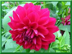 Crimson-red Dahlia