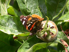 13_07_09_paintedlady_medlar (Fake-Faux) Tags: butterfly e17 paintedlady medlar