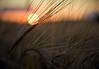 Barley (_DSC3597)
