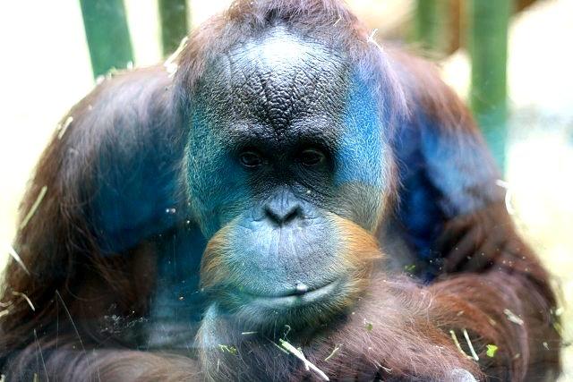 bella the gorilla2